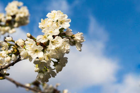 biologic: cherry tree with white flowers in the background the blue sky with clouds