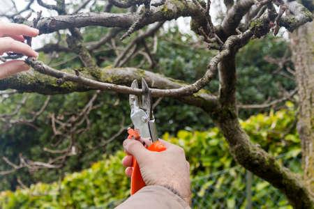 pruning scissors: gardener makes the winter pruning with big scissors
