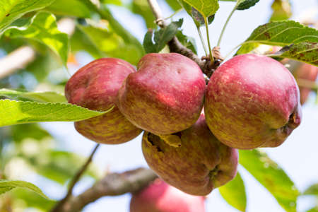 Tree with stark quality apples, Red Delicious
