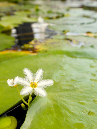 White blossom of Fieberklee beneath bright green pads of a water lily