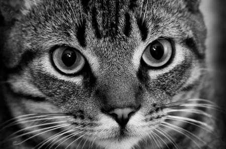 Black and White Brazilian Short Hair Nice Cat