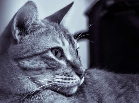 Black and White Brazilian Short Hair Cat Side Posing Imagens