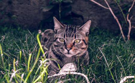Tabby Cat Holding his toy on the grass Imagens