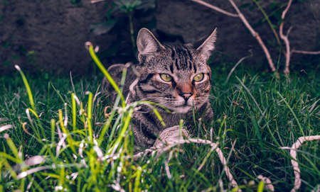 Tabby Cat Holding his toy on the grass