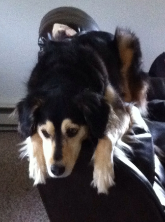 My dog Lila thinks she is a cat sometimes. Caught her on the back of the couch so she could see outside better.  Imagens