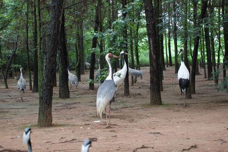 rare animals: Crane