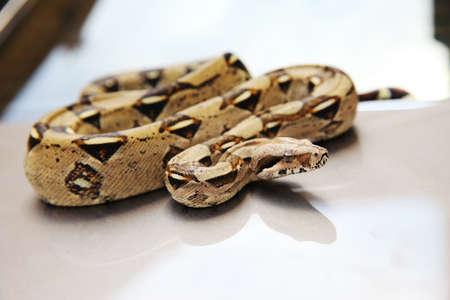 blooded: Snake