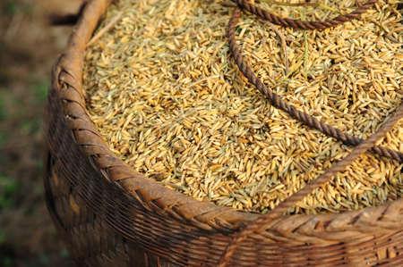 mijo: Millet  Foto de archivo