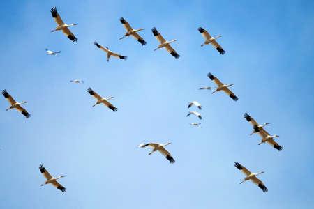 migratory birds: Migratory birds