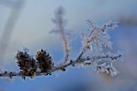 pignons de pin: Pine nuts