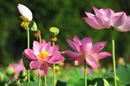incorruptible: Closeup of lotus flowers