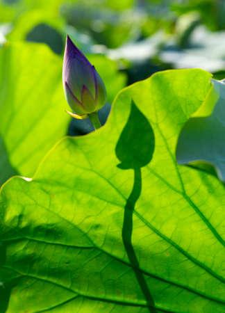 lotus leaf: Closeup of lotus leaf Stock Photo