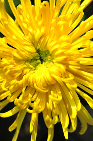 chrysanthemum: Chrysanthemum