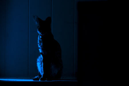 looking away from camera: Female serval cat (leptailurus serval) sits in shadowy alcove: 5 month old female pet serval Ripley sits in shadowy alcove.