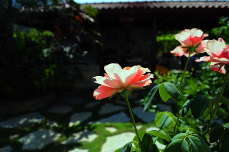 3 pink roses in a paved lush green garden: Pretty pink roses in lush green paved garden with dappled sunlight and corrugated roofed gazebo unfocused in background in Gocek, Turkey. Stock Photo