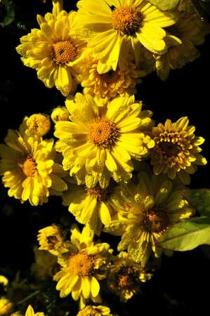 life extension: Chrysanthemum.