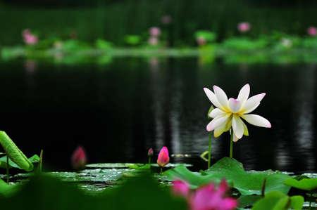 Lotus,