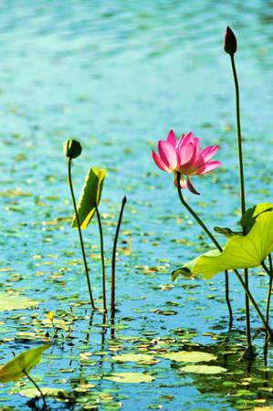 lotus leaf: Lotus,