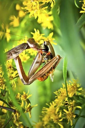 gottesanbeterin: Mantis, Lizenzfreie Bilder