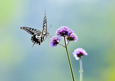 나비, 나비,