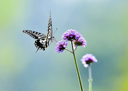 Mariposa, mariposas,  Foto de archivo - 10519762