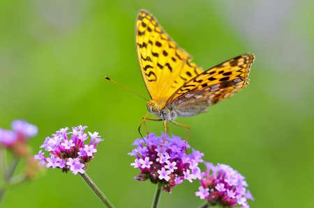 Papillon, Vanessa, Banque d'images - 10519797