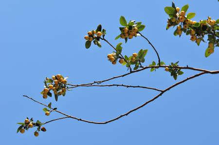 begonia: Begonia,