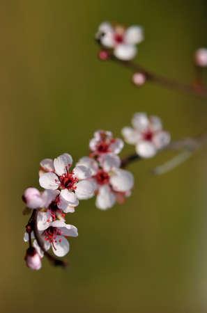 myrobalan: Myrobalan plum,