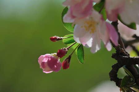 begonia: Begonia flores Foto de archivo