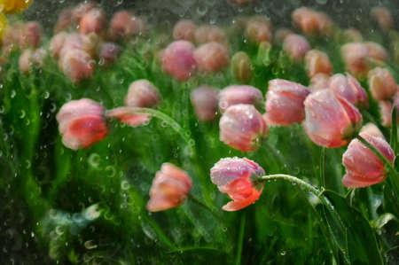 pink tulips: Pink tulips, Stock Photo