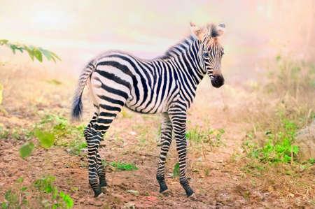 hoofed: Zebra Stock Photo