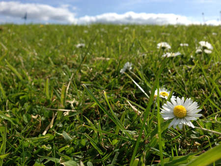 daisys: Field of grass and Daisys