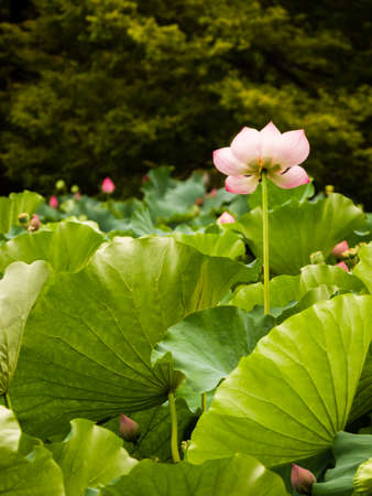 Beautiful lotus flower with leaves in a pond stock photo picture beautiful lotus flower with leaves in a pond stock photo 101529116 mightylinksfo