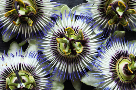 Photography of flowers of Passiflora caerulea also known as blue passionflower, bluecrown passionflower or common passion flower for floral background