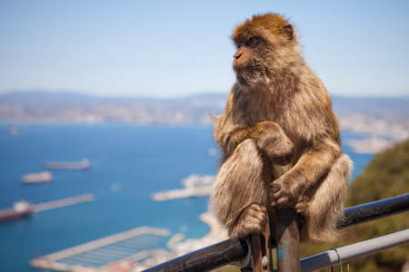 barbary ape: A Macaque Monkey on Gibraltar looks seaward with out of focus background and space left of frame for copy Stock Photo