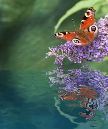 nymphalidae: European Peacock butterfly in water reflection Stock Photo