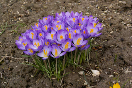 A closeup shot of purple crocus flowers on the ground. photo