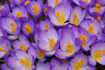 A bed of lovely purple crocus flowers. photo