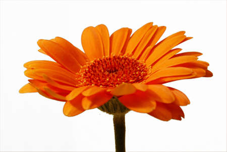 A closeup shot of an isolated gerbera flower in front of a white background. photo