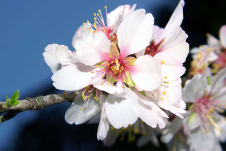 A closeup shot of lovely almond blossoms. photo