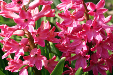 A closeup shot of colorful pink hyacinths. Stock Photo - 4761524