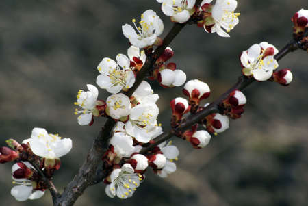 A Closeup shot of lovely apricot blossoms. photo