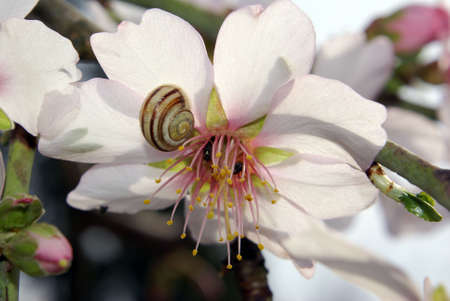 Snail On An Almond Blossom photo