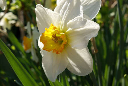 A closeup shot of a white narcissus. Stock Photo - 4761542