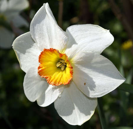 A closeup shot of a white narcissus. Stock Photo - 4761539