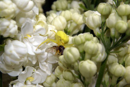 A yellow crab spider with its prey on a white lilac. photo