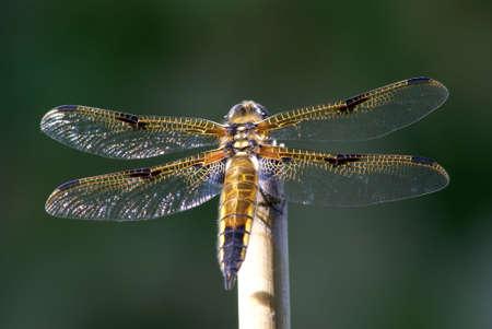 coy: Closeup of a coy dragonfly taking a sunbath.