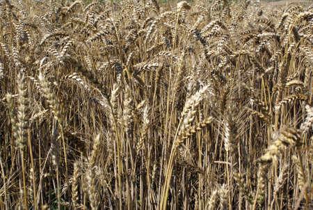 Barley Stock Photo - 5347021