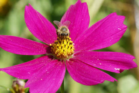 Bee on a cosmos flower photo