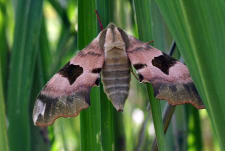 Lime Hawk-moth Stock Photo - 5347020